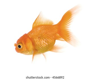 Goldfish in front of a white background
