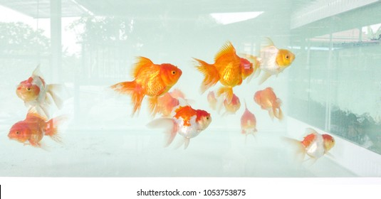 Goldfish in a glass tank