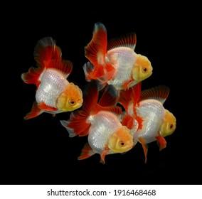 Goldfish gorgeous  isolated a   background.