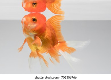 Goldfish isolate on a gray background