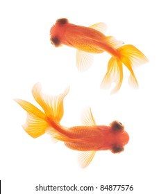 goldfish isolated  in fishbowl top view