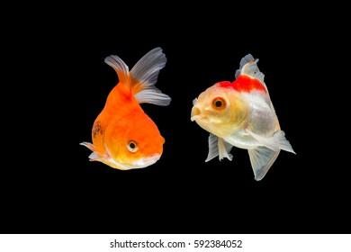goldfish isolated on black background.
