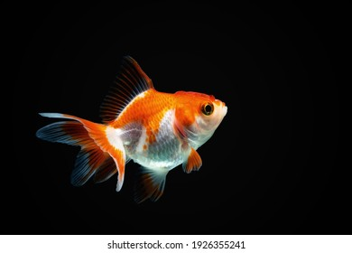 Goldfish isolated on dark black background
