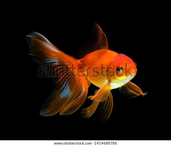 https://image.shutterstock.com/image-photo/goldfish-isolated-on-dark-black-600w-1414688786.jpg