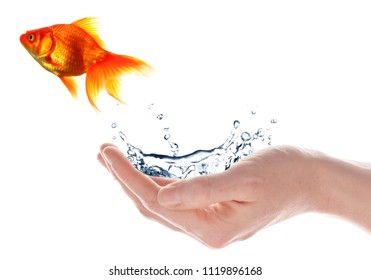 goldfish jumping from hand isolated on white background