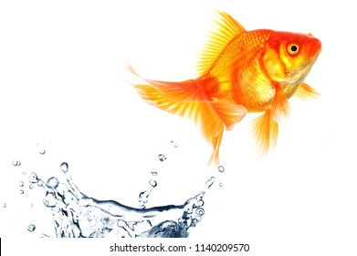 goldfish jumping with water splash isolated on white background