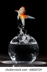 goldfish jumps upwards from an aquarium on a dark background