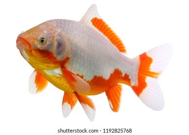 Goldfish known as a comet isolated on white backdrop.