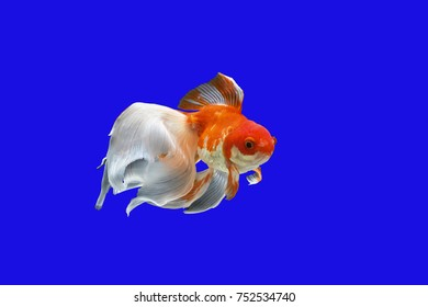 Goldfish with long fins against a blue background