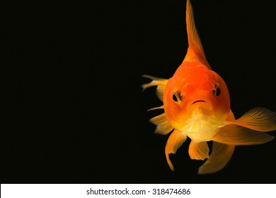 Goldfish looking at you in black background
