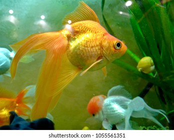 Goldfish. Goldfish are the most common inhabitants of domestic aquariums. They say that a goldfish can even fulfill three wishes of its owner. Blurred focus