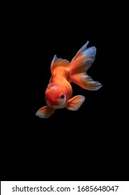 Goldfish are the most gentle fish in the world.