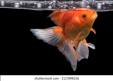 Goldfish movement with bubbles & water pumps in the tank on darkness background