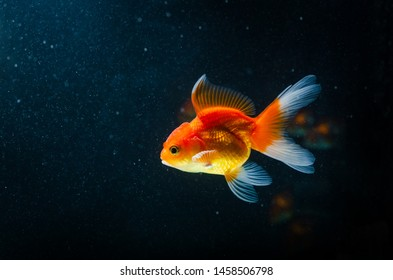 Goldfish nature beautiful fish against the dark background with copy space