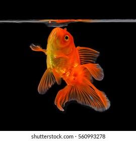Goldfish on black background