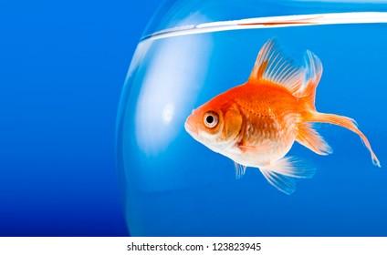 Goldfish on a blue background