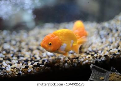 Goldfish pictures in the aquarium