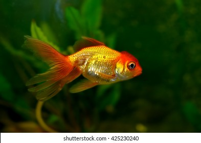 Goldfish Red Cap
