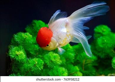 """Goldfish - """"Red Cap Oranda"""""""