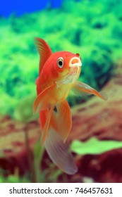 Goldfish red Comet in the interior of the tank