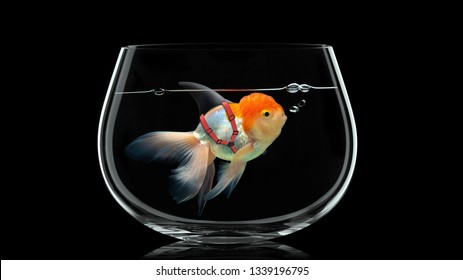 Goldfish with shark fin swim in fish bowl, Gold fish in black water . Mixed media