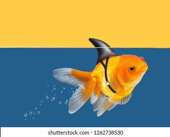 Goldfish with shark fin swimming in blue water and yellow sky background, Gold fish,Decorative aquarium fish. Gold fish with shark flip