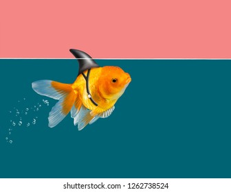 Goldfish with shark fin swimming in green water and pink sky background, Gold fish,Decorative aquarium fish. Gold fish with shark flip