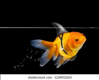 Goldfish with shark fin swimming on black background ,Gold fish swim with floating bubbles,Decorative aquarium fish,Gold fish Isolation. Mixed media