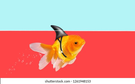 Goldfish with shark fin swimming in red water and blue sky background, Gold fish,Decorative aquarium fish. Gold fish with shark flip