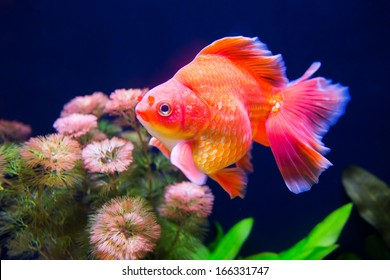 Goldfish swimming in the fish tank