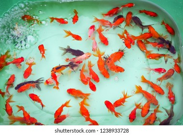 goldfish swimming in pond / colorful goldfish orange and multi color fish swimming underwater plastic pond
