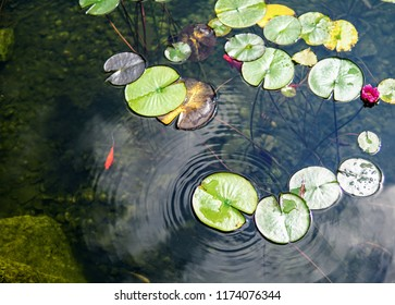 goldfish swimming in the pond full of lily pads