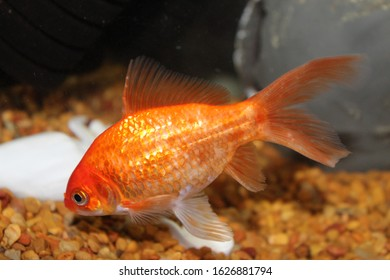A goldfish swims in an aquarium, close up, side view.