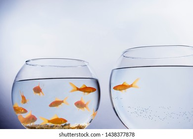 A Goldfish that has escaped out of a small crowded bowl into a larger empty bowl