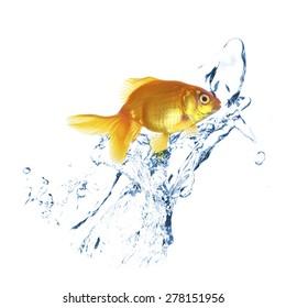 Goldfish in water splashes, isolated on white