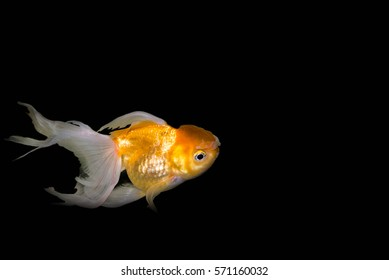 Goldfish,Carassius auratus auratus - gold fish - aquarium fish on black background