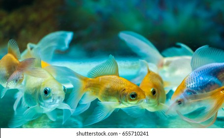 Goldfishes in tropical aquarium tank with colorful background