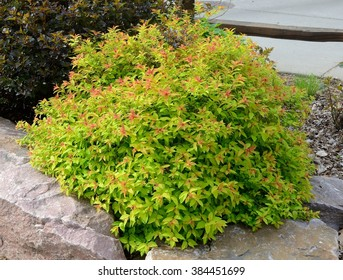 Goldflame Spirea is a Compact, Mounded Deciduous Shrub