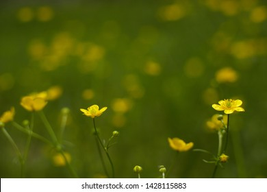 Goldilocks buttercup flowers in fields. Nature background.