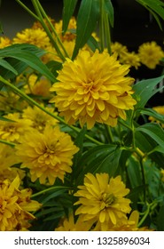 Goldquelle Coneflower, Tall late summer perennial herb with deeply cut leaves and bright yellow double flower heads on sturdy stems.