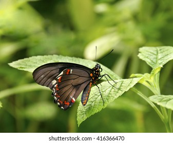 Gold-rimmed swallowtail butterfly on a green leaf.