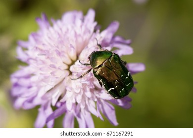 goldsmith beetle [Cetonia aurata] or rose chafer