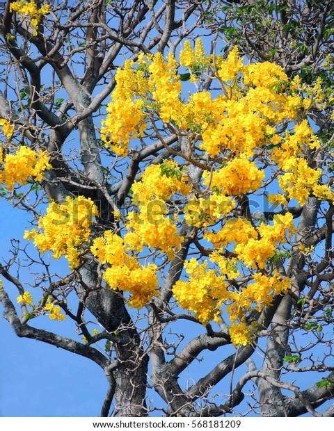 Goldtree Flowers Spring Kauai Hawaii Stock Photo (Edit Now