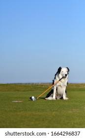 golf border collie tee shot