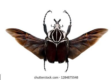 Goliath beetles - Goliathus.