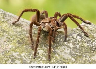 タランチュラ科獣弓科に属する。南米北部で見られる、質量と大きさで世界最大のクモです