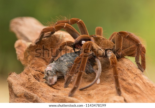 Goliath birdeater (Theraphosa blondi) belongs to the tarantula family Theraphosidae. Found in northern South America, it is the largest spider in the world by mass and size
