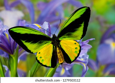 The Goliath Birdwing Butterfly, Ornithoptera goliath samson Male