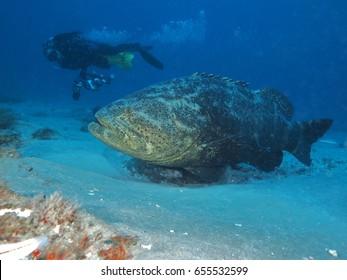 Goliath Grouper and Diver