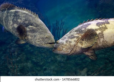 Goliath grouper (Epinephelus itajara). Two big fishes met